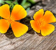 Californian Poppy by Mark Richards