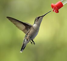 Female Ruby Throated Hummingbird by Gregg Williams