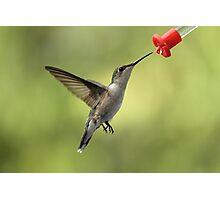 Female Ruby Throated Hummingbird Photographic Print