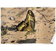 Swallowtail on the lake Poster