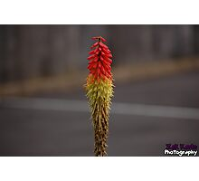 Red hot poker flower  Photographic Print