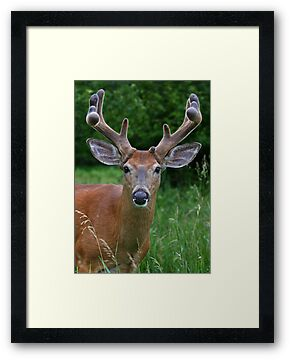 Big Antler Buck by Jim Cumming