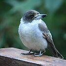 Baby Butcherbird by aussiebushstick