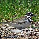 Killdeer by BonnieToll