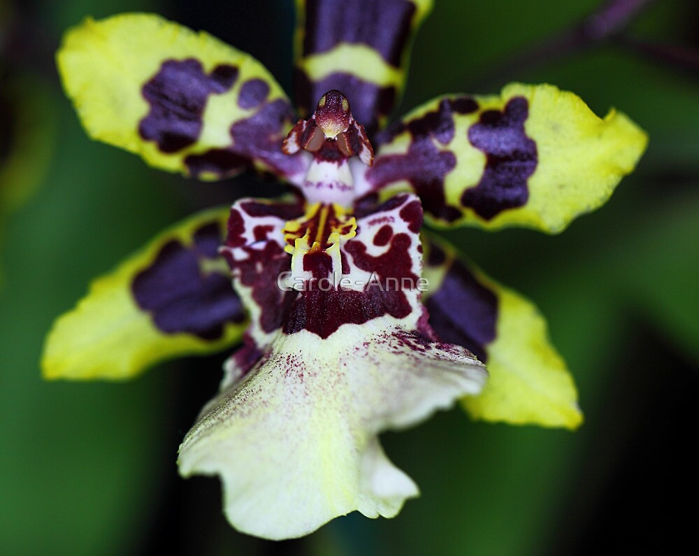 Zygopetalum Orchid by Carole-Anne