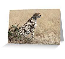 Looking About, Cheetah, Maasai Mara, Kenya Greeting Card