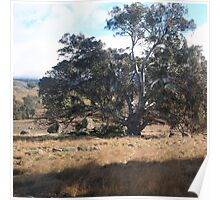 The tree stands alone in this serene setting Sutton Grange VIC Australia Poster