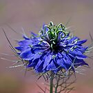 Vivid Nigella by Celeste Mookherjee