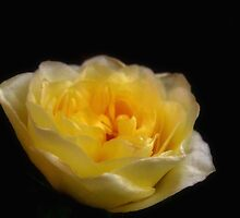 Lemon patio rose ~ just starting to flower by Karen  Betts