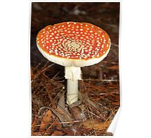 Fly Agaric - Amanita muscaria Poster