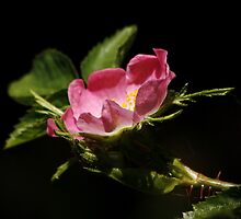 Wild Dog Rose by AnnDixon