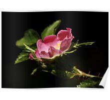 Wild Dog Rose Poster