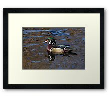 Wood duck drake swimming in lake Framed Print