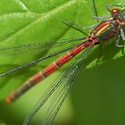 dragonfly  by griffithsphill