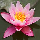 Pink Water Lily by karina5