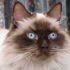 Fifi blue eyes! by TracyD