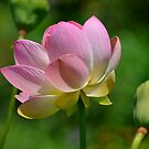 Pink Lotus by Kathy Baccari