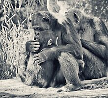 Chimpanzee Cuddles by Josie Eldred