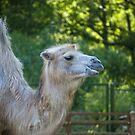 Camel by Vac1