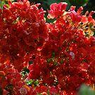Blossoms Of Flamboyant - Flores De Flamboyant by Bernhard Matejka