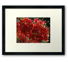Blossoms Of Flamboyant - Flores De Flamboyant Framed Print