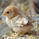 curly feathered chabo chick by Nicole W.