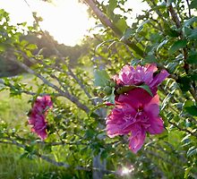 Rose of Sharon by ThinkPics