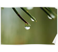 Raindrop on a Pine Needle Poster