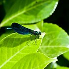 A Beautiful Demoiselle (Calopteryx virgo) by Dominic  Boulding
