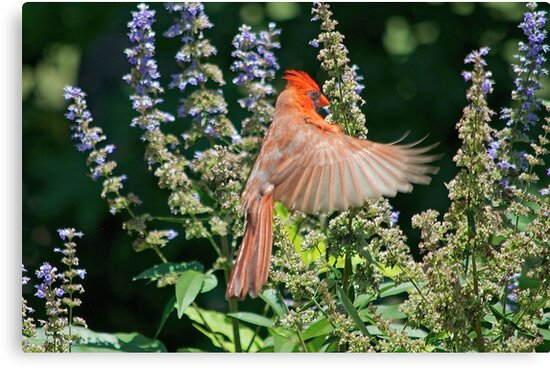 Cardinal Hovering the Texas Lilac by Photography by TJ Baccari