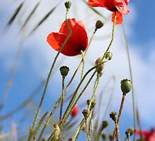 Poppies by Emma Smith
