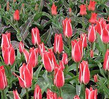 Stunning Pink Tulips - Keukenhof Gardens by BlueMoonRose