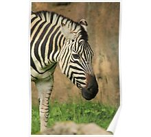 A Zebra's Buffet Line Poster