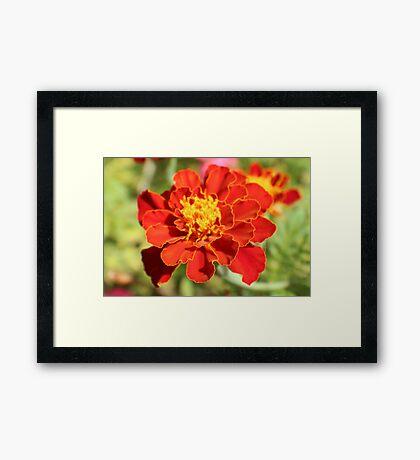 Marigold Majesty Framed Print