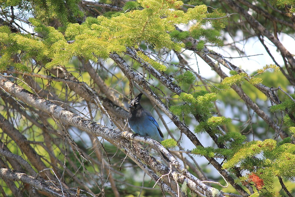 Blue Jay in The Rocky's by Jeffrey Sims