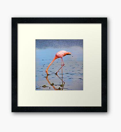 Galapagos Flamingo Framed Print