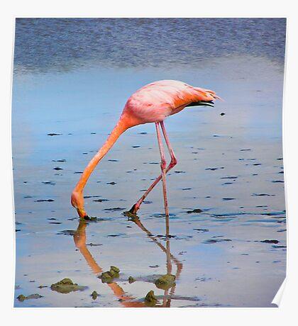Galapagos Flamingo Poster