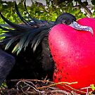 Frigate Bird, Galapagos by Nick  Taylor