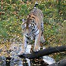 Amur Tigress by Dorothy Thomson