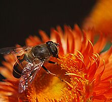 Strawflower Bee by Sheri Nye