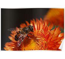 Strawflower Bee Poster