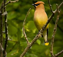 Cedar Waxwing by Jeff Weymier
