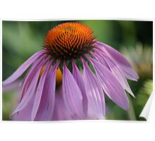 Purple Cornflower Poster