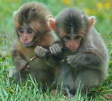 Baby Snow Monkeys by David Alexander Elder
