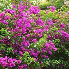 Bougainvillea by Louis Delos Angeles