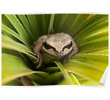 Brown tree frog!!!! Poster