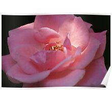 My Pink Rose Poster