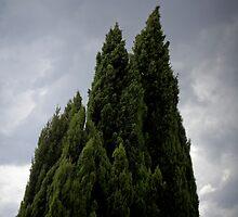Conifers by L B