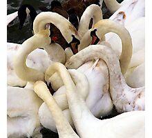 Swans Necks Photographic Print