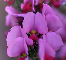 Pink peas by wrighty